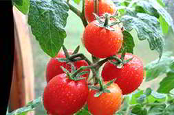Мини ферма помидоры проста в уходе