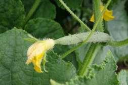 С Флоравитом растение становится стойким к болезням.
